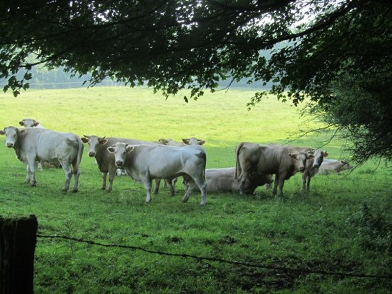 Vaches Paisibles et Curieuses