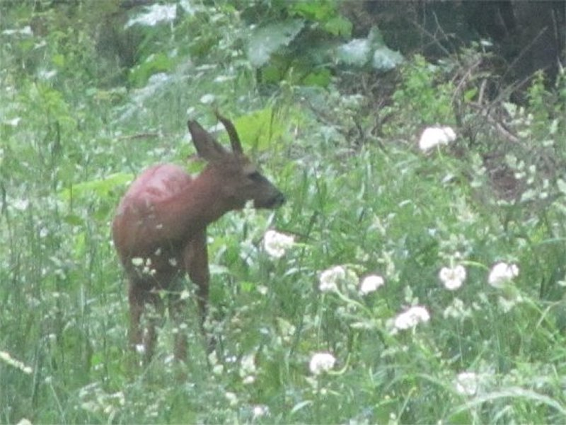 Chevreuil dans la Forêt du Vaurond