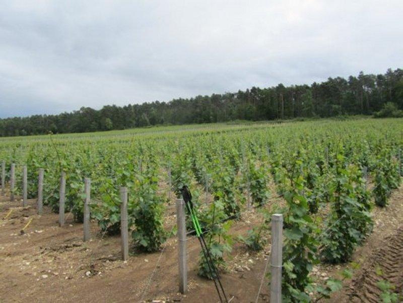 Vignes de Champagne sur les Hauteurs des Riceys