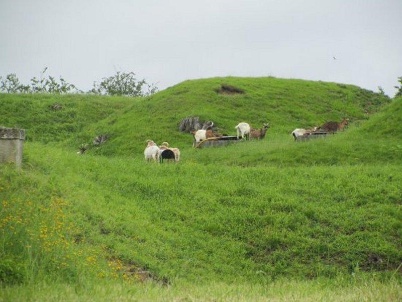 Troupeau de Chèvres sur le Fort de Bourlémont